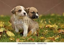 american pitbull terrier vs amstaff american staffordshire terrier stock images royalty free images