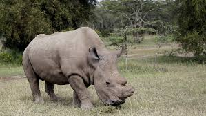 What Is Bored Panda by Sudan The Last Male Northern White Rhino On The Planet Joins