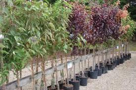 ornamental pruning walnut tree services inc
