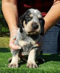 bluetick coonhound uk breeders old fashioned bluetick coonhound puppies for sale