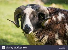 two horn pedigree jacob sheep ram on brown and white