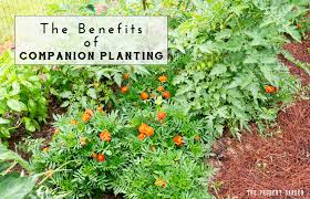 Three Sisters Garden Layout by The Benefits Of Companion Planting