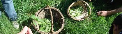 cuisine plantes sauvages vosges santé nature plantes comestibles et médicinales