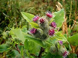 native edible plants edible plants you can find in the wild