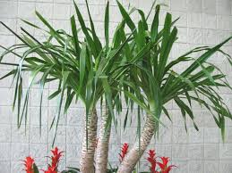 manly famous large as wells as small plants living similiar palm