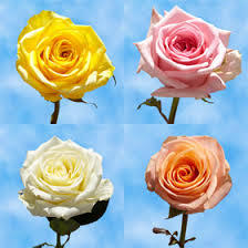 different color roses birthday flowers 50 two different colors roses global