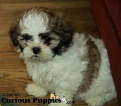 bichon frise and a shih tzu common crosses of shih tzu puppies for sale puppies for sale