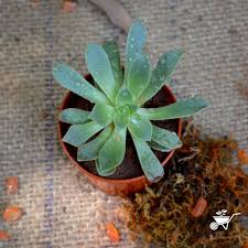 Succulent Plant Buy Succulent Plants Online At Best Prices In India Mybageecha