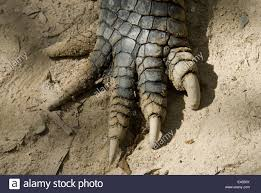 alligator claws crocodile claws up stock photos crocodile claws up
