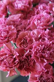 Carnation Flower 79 Best Carnations Images On Pinterest Cut Flowers Flowers And