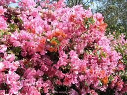 Bougainvillea Topiary - introduction to bougainvillea dave u0027s garden