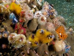file spirobranchus giganteus assorted christmas tree worms jpg