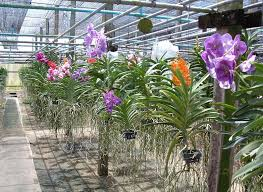 orchid plants orchid plant phalaenopsis orchid plant dendrobium orchid plant