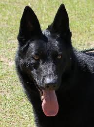 belgian sheepdog rescue florida tails of success rescue dog village guardian inc