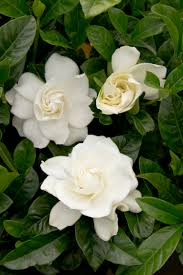 first love gardenia grafted monrovia first love gardenia