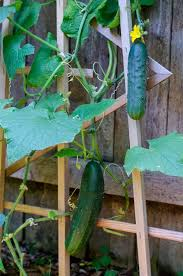 Growing Melons On A Trellis Growing Watermelon Cucumber And Melons Vertically Permaculture