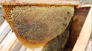 Harvesting Honey From A Top Bar Hive Top Bar Honey Harvest From Coltart Horseshoe Hives 2016 Youtube