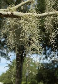 south carolina native plants untangling spanish moss hortitopia