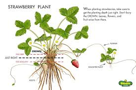 Strawberry Garden Beds Growing Strawberries Bonnie Plants