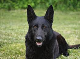 belgian shepherd black update discussion my parents just inherited two one year old