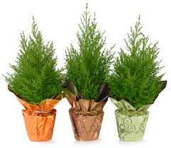 holiday trees indoor potted plants european pines rocket farms