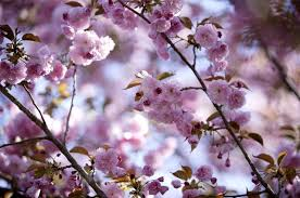 what is the meaning of cherry blossom flowers hunker