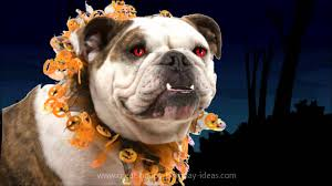 halloween birthday bulldog youtube