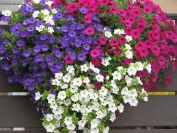 balkon blumen farbenfrohe und widerstandsfähige balkonblumen laemmerhof s