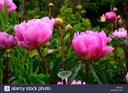 flowers in garden images peony flowers in a garden paeonia lactiflora in a garden stock