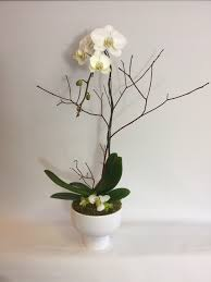 flower delivery seattle send phalaenopsis orchid plants in seattle wa from fiori floral
