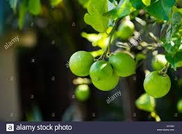 ripening lemons hanging from a backyard lemon tree in a sydney