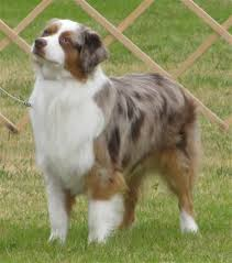 australian shepherd joint problems best 25 miniature australian shepherd puppies ideas on pinterest