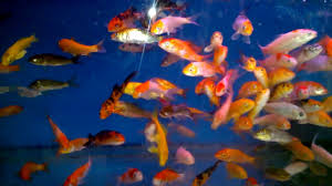 beautiful collection koi fish and golden fish in aquarium tank for