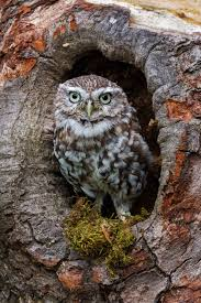 owl in tree by redshaw owl owl