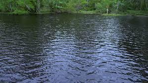 Louisiana wild swimming images Wild alligator in the swamp of louisiana stock footage video resiz