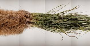 which food plant was native to the old world digging deep reveals the intricate world of roots u2013 proof