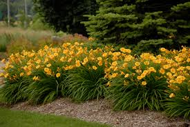 day lilies how to daylilies for retail sales greenhouse