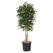 distinctive designs 7 ft ficus artificial tree t 243g 7