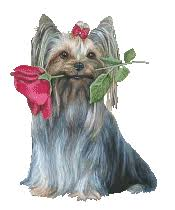 yorkie everyday life with yorkies yorkshire terrier information