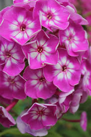 70 best phlox images on pinterest flower gardening flowers and