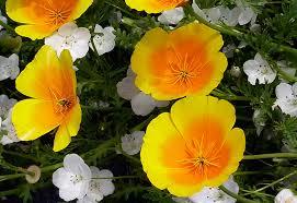 California Poppy Eschscholzia Californica Ssp Maritima U0027coastal Form U0027 Buy Online
