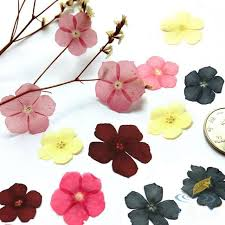 dried flowers 20pcs dried flowers phlox specimen children wedding home