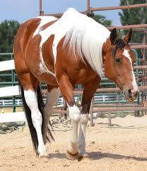132 best color pinto tobiano tovero images on pinterest