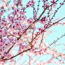 cherry blossoms photography pink tree branch aqua shabby