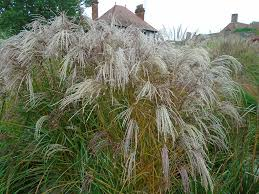 meadowgate nursery ornamental grasses chichester