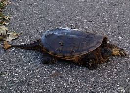 snapping turtle locally grown logro northfield