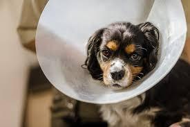 how to stop dogs from licking their wounds why dogs shouldn u0027t