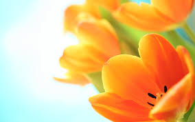 wallpaper hd orange orange tulips hd hd desktop wallpaper instagram photo background
