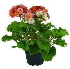 dalia in vaso solanum rantonetti vaso 14 floricoltura magnani di magnani gianpaolo