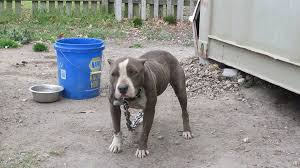 land of giants american pitbull terriers what u0027s the kindest thing we can do for pit bulls
